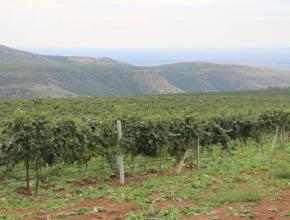 Дагестан стремительно догоняет Кубань по площадям виноградников